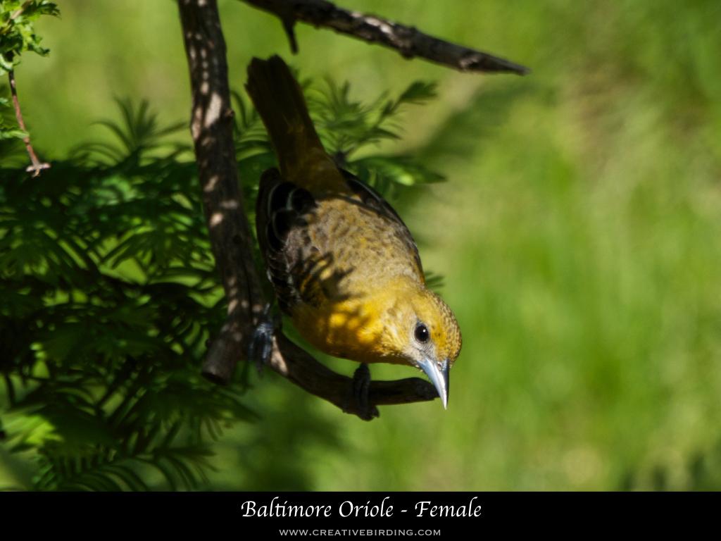 Baltimore Oriole - Female.001.jpeg