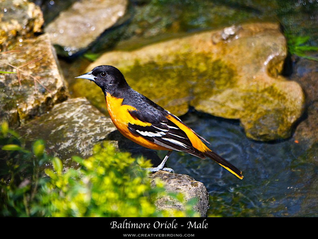 Baltimore Oriole - Male.001.jpeg