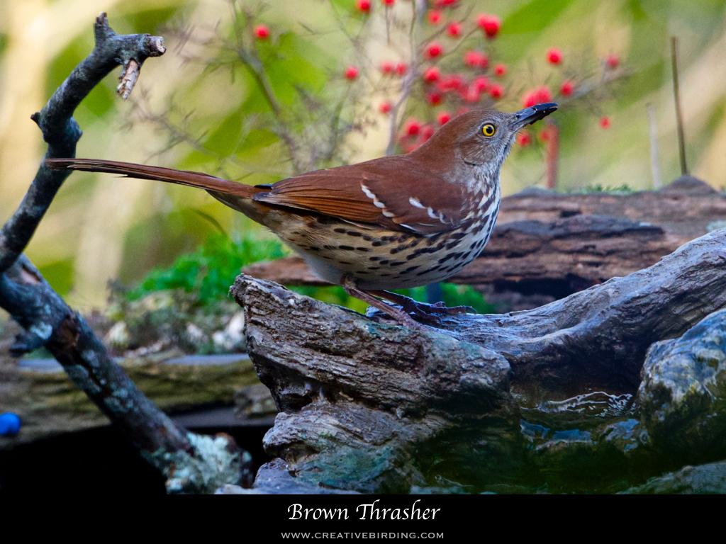 Brown Thrasher.001.jpeg