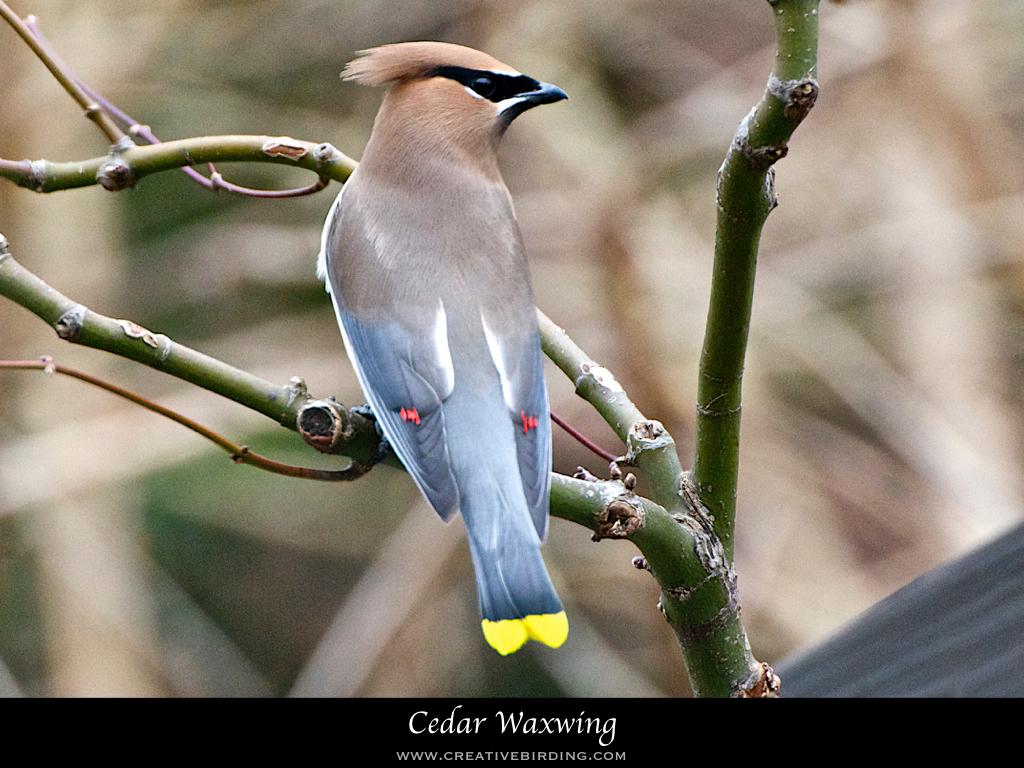 Cedar Waxwing.001.jpeg