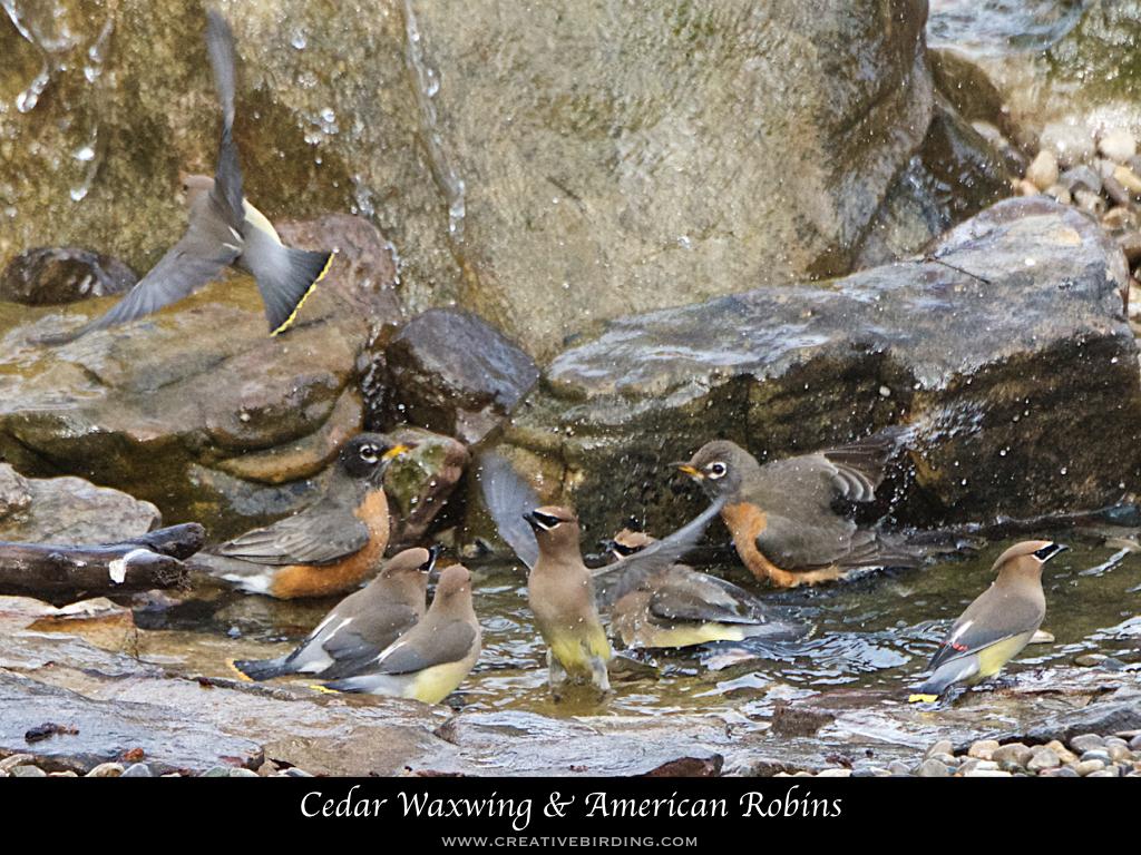 Cedar Waxwing & American Robins.001.jpeg