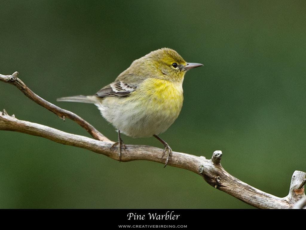 Pine Warbler.001.jpeg