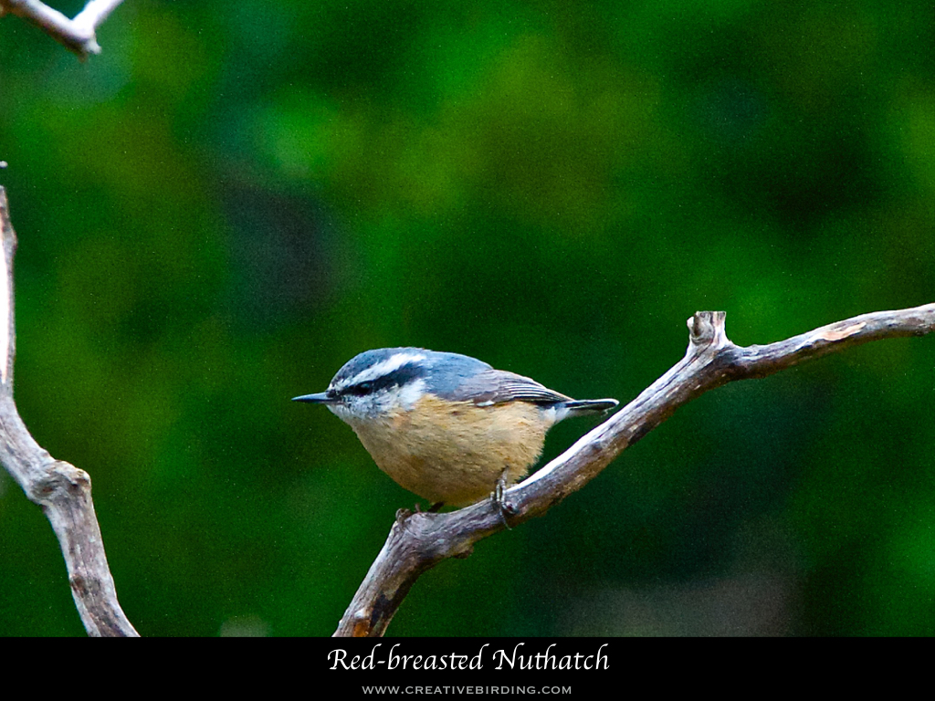 Red-breasted Nuthatch.001.jpeg
