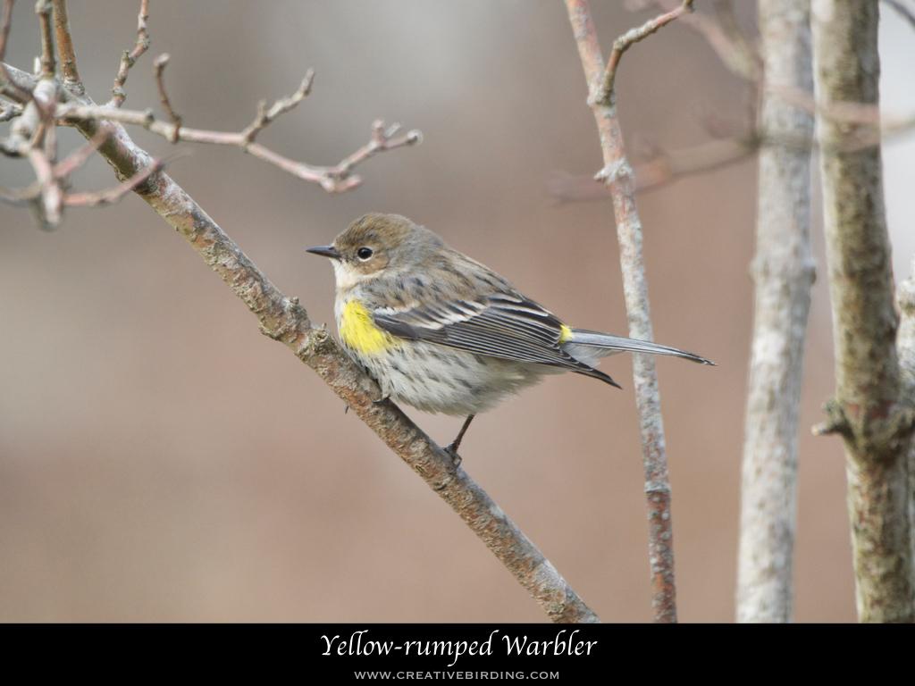 Yellow-rumped Warbler.001.jpeg