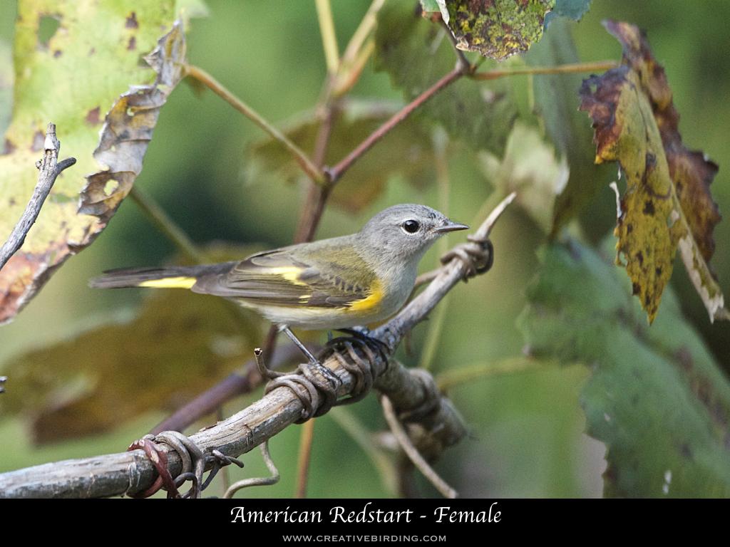 American Redstart - Female.001.jpeg
