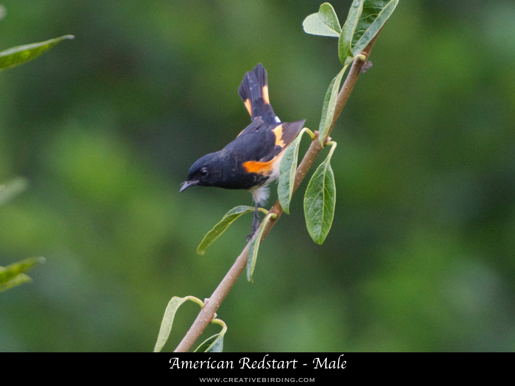American Redstart - Male.001.jpeg
