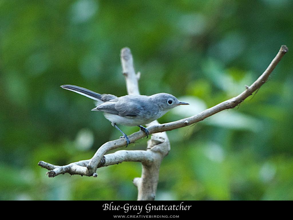 Blue-Gray Gnatcatcher.001.jpeg