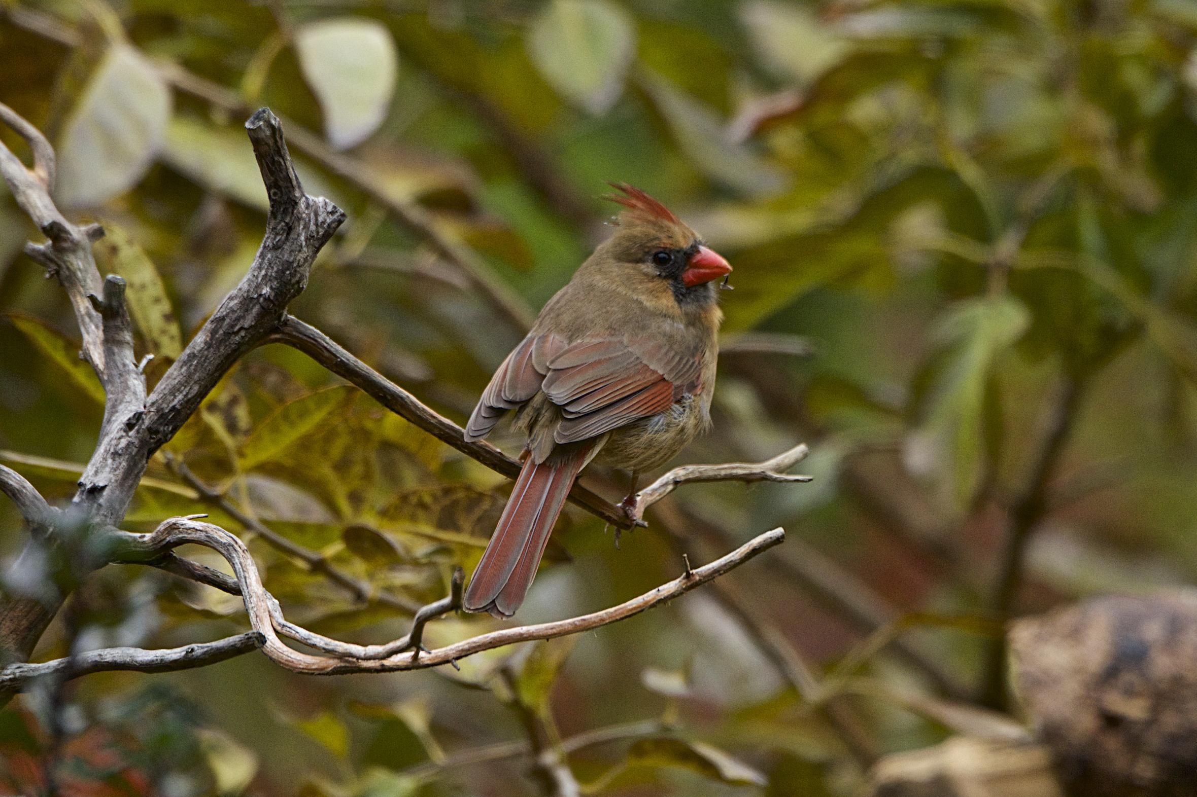 Northern Cardinal-female 7 - Version 2.jpg