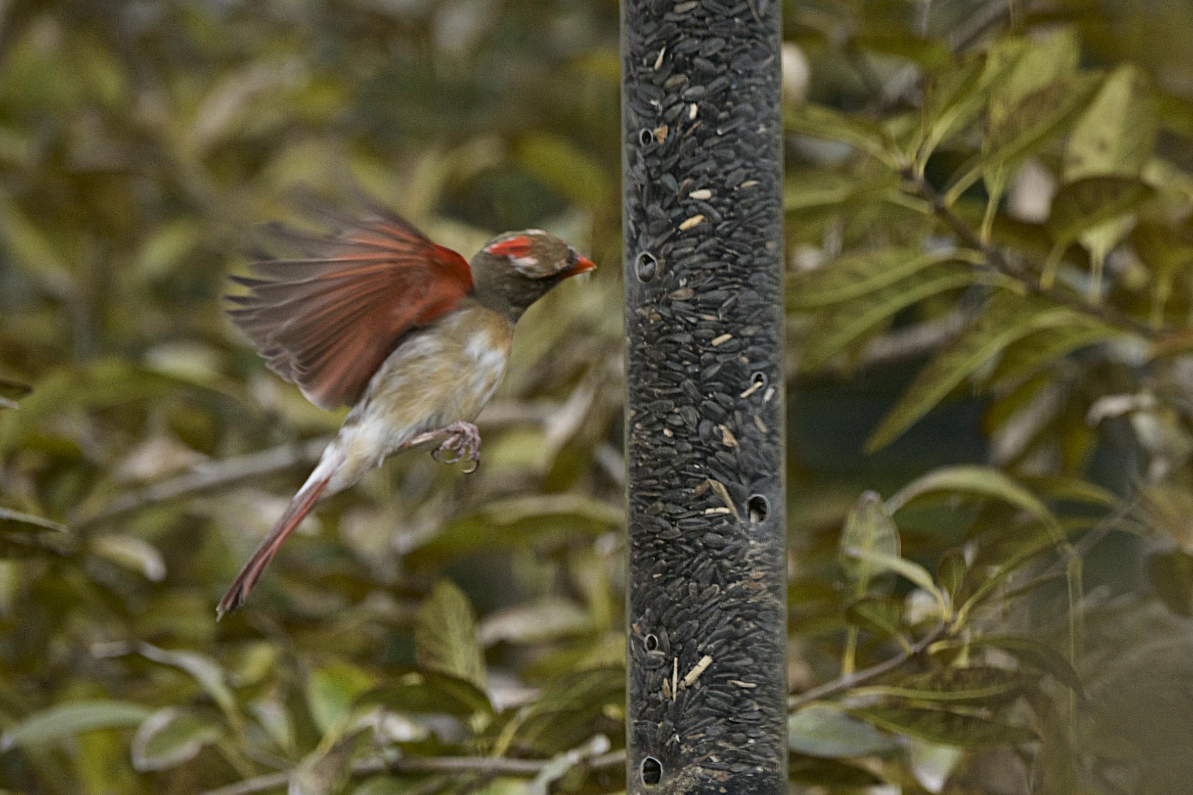Northern Cardinal-female 10 - Version 2.jpg