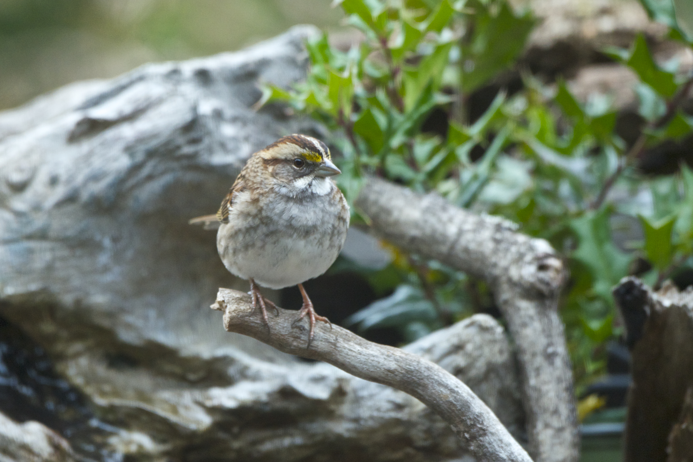 White-throated Sparrow 1 - Version 3.jpg