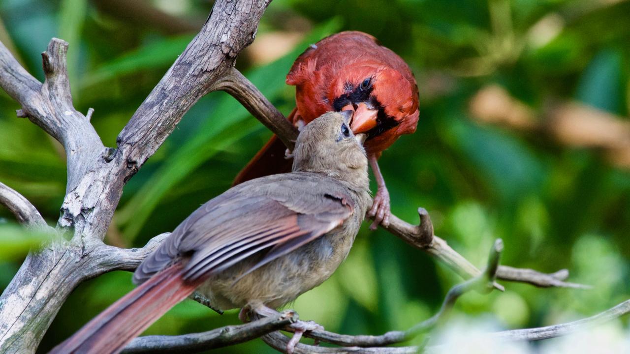 Northern Cardinal-male feeding a juvenile female.