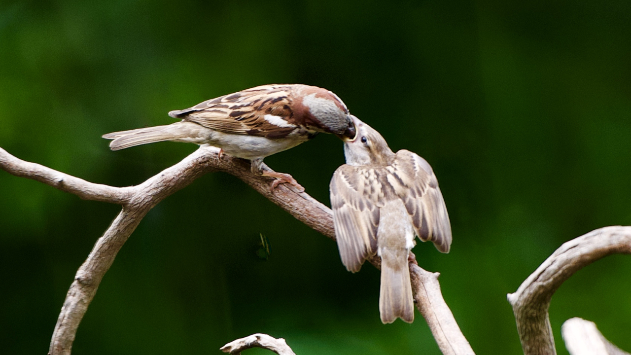 House Sparrow feeding it's young fledging.