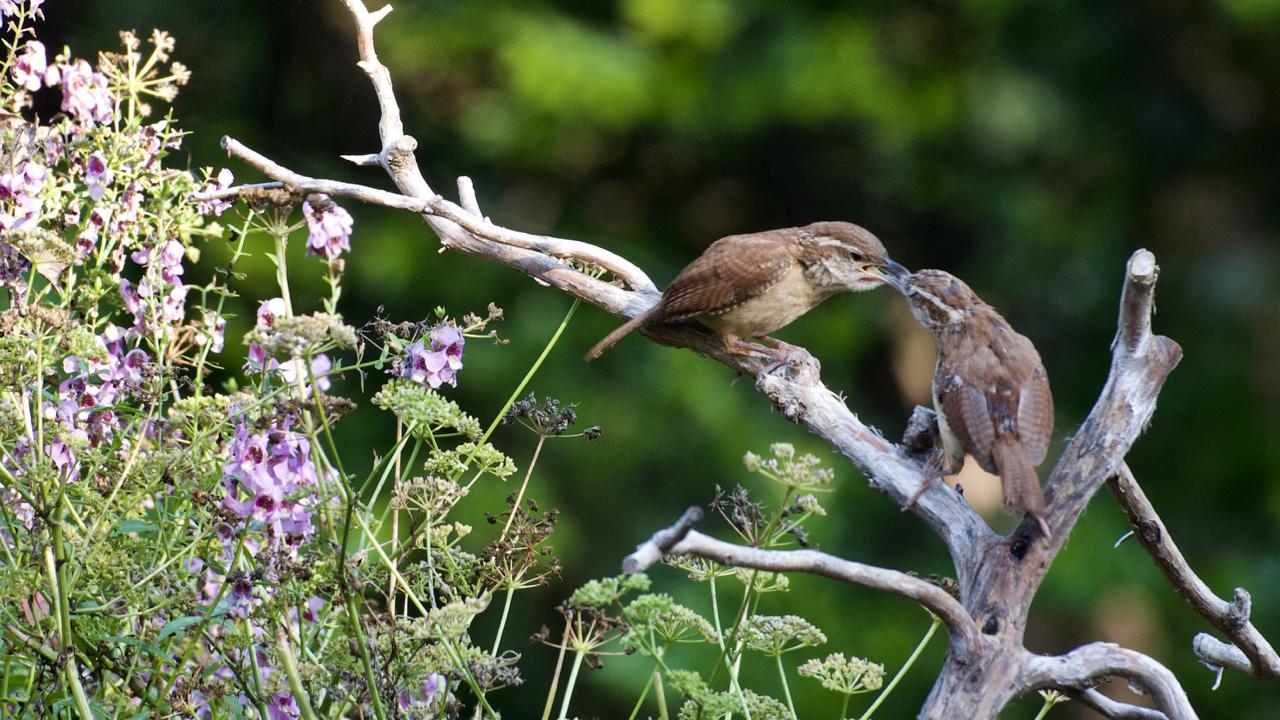 Carolinawren feeding its young.