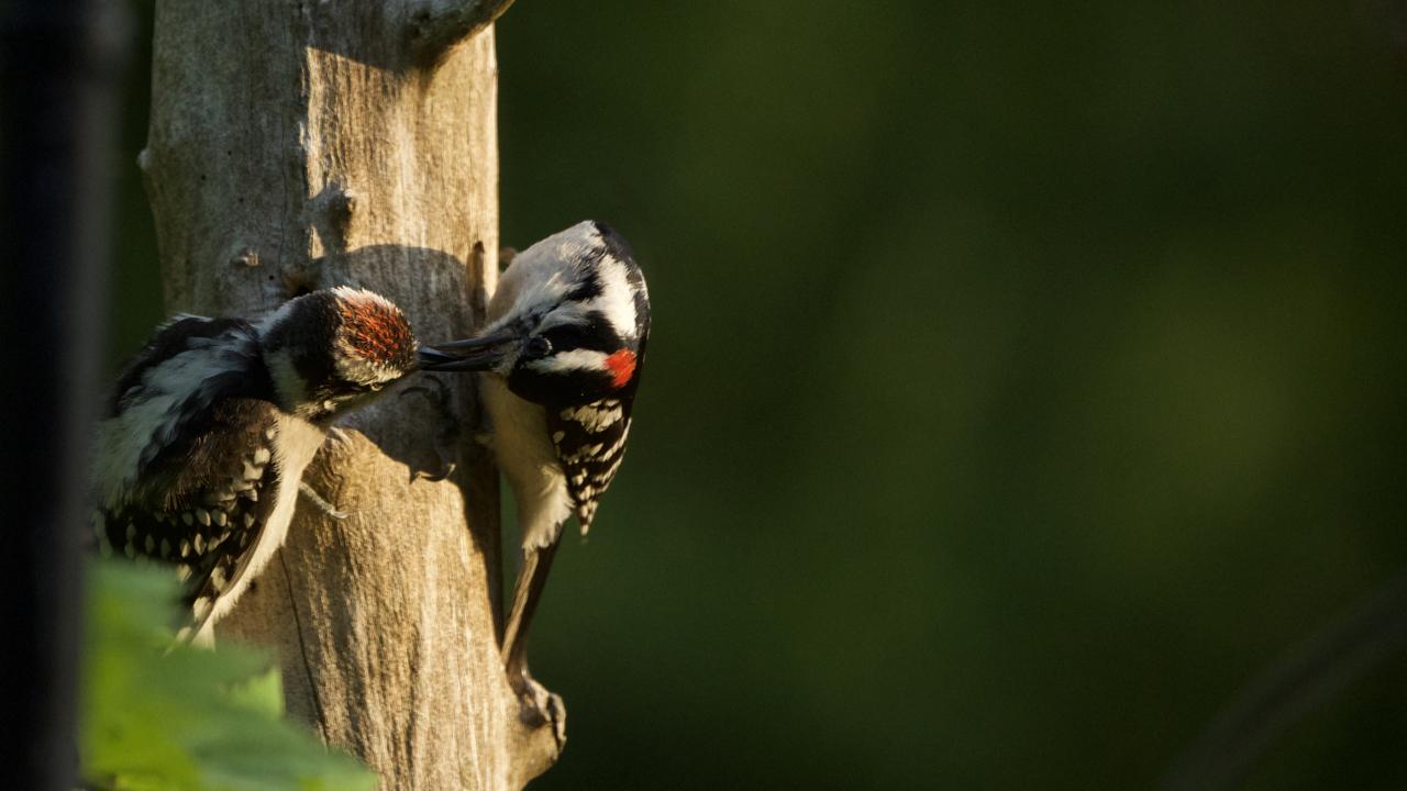 Downy Woodpecker-male feeding a male fledging.