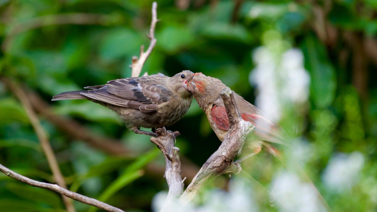 Northern Cardinal- female feeding a parasitic Brown-headed Cowbird.