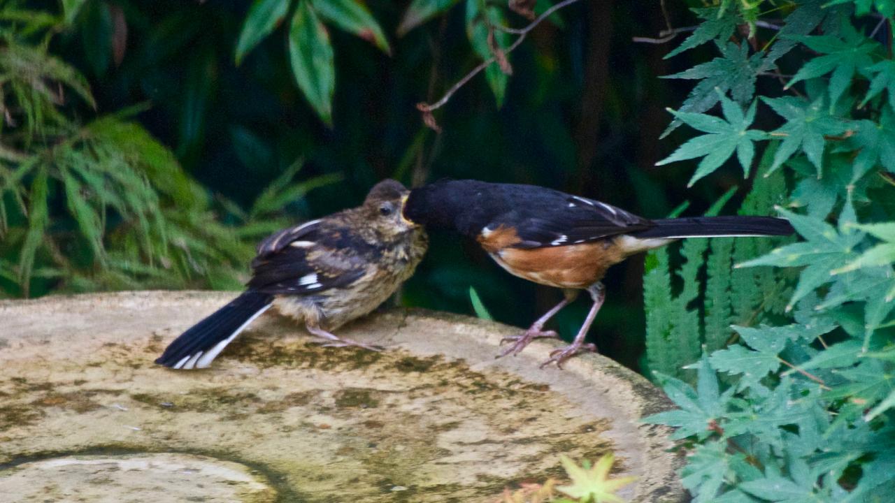 Eastern Towhee-male feeding ayoung fledging,