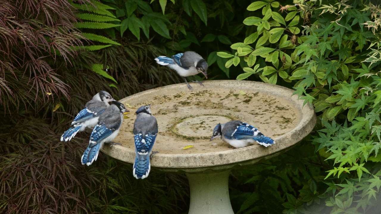Family of young Blue Jays experiencing water.