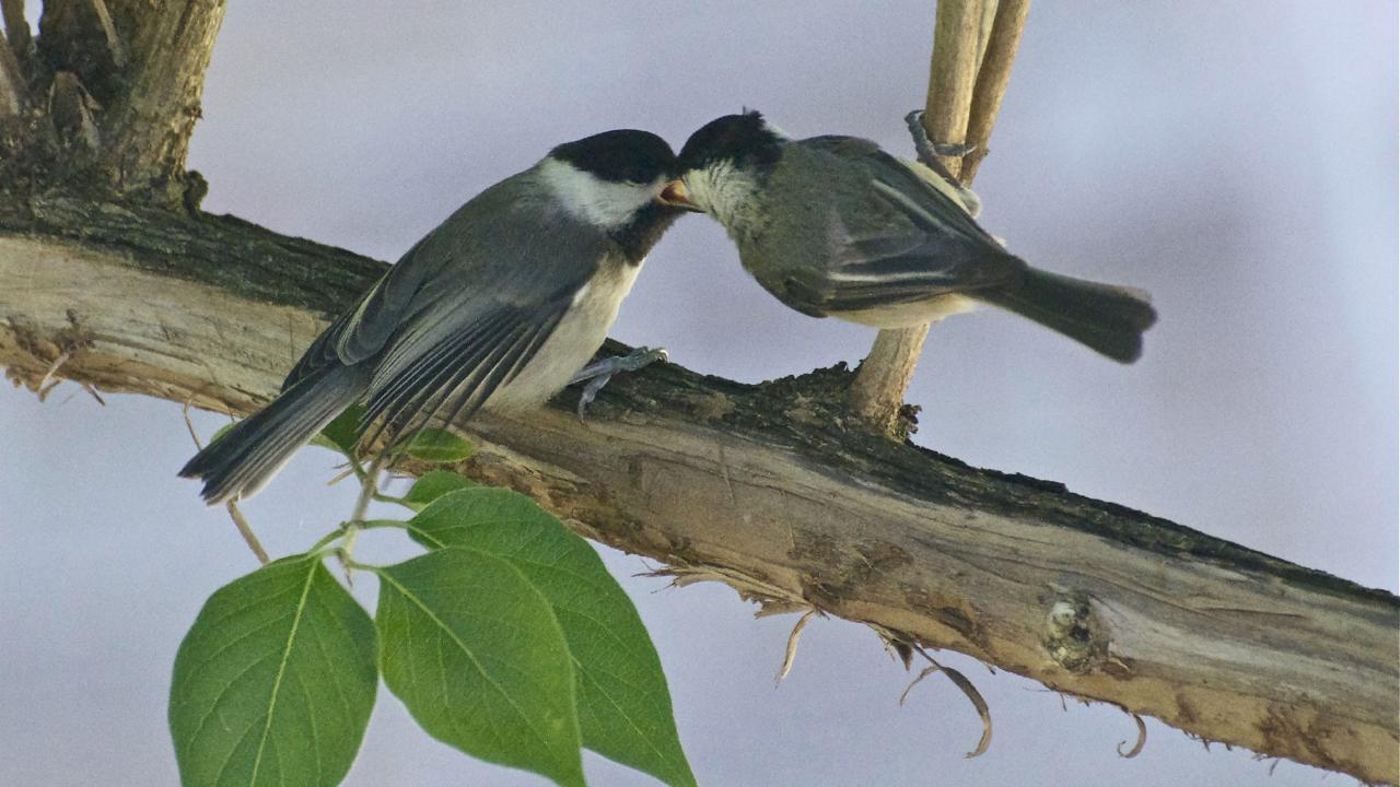 Carolina Chickadee parent feeding its young.