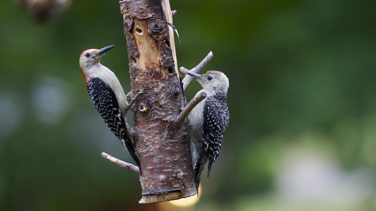 Red-bellied Woodpecker-female feeding suet to itsfledging.