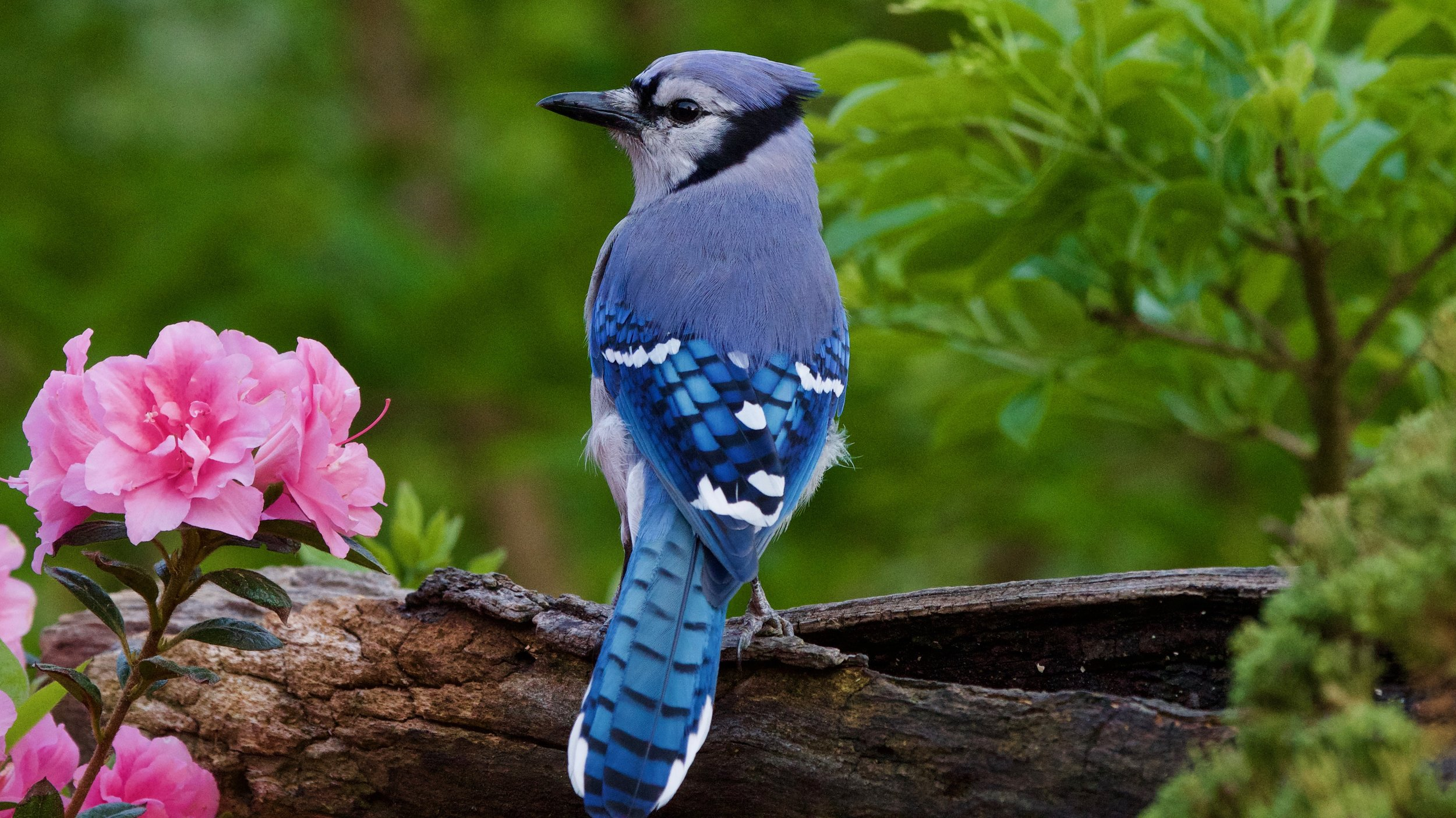 Blue Jay after molting