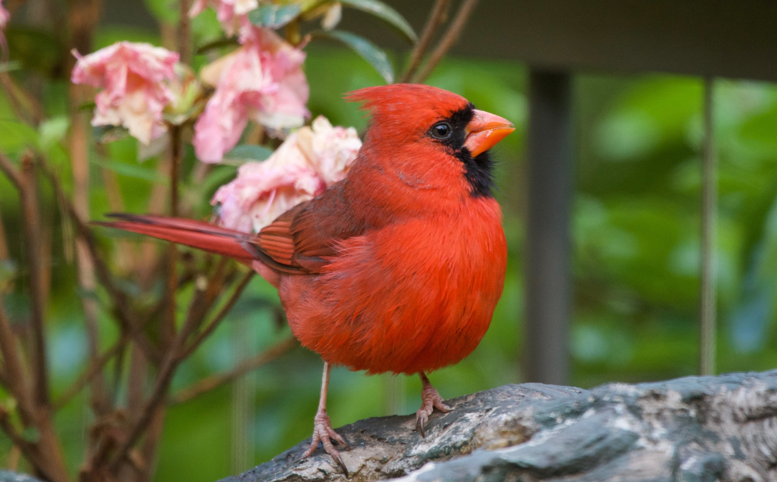 Northern Cardinal after molting