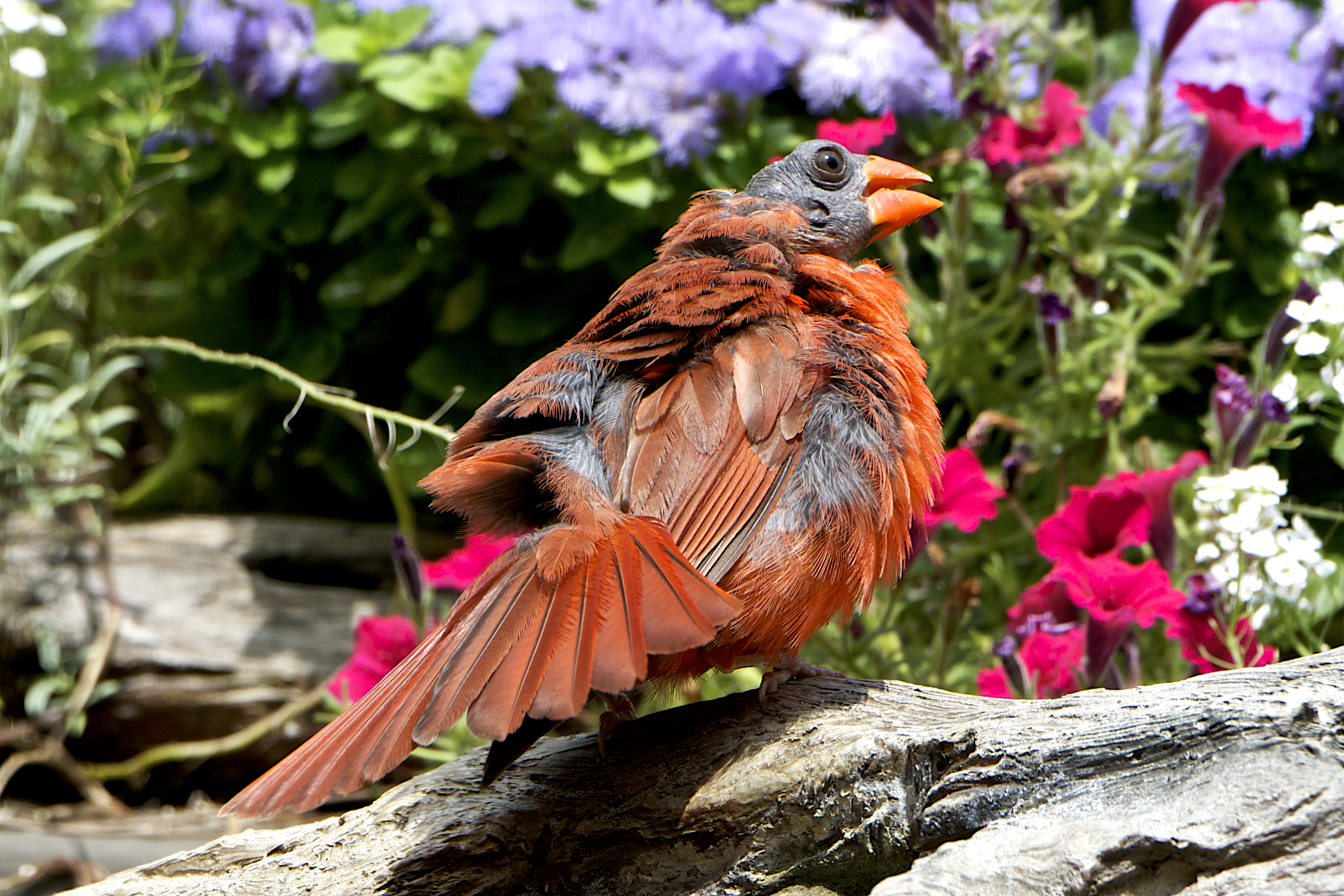 Northern Cardinal in molting process