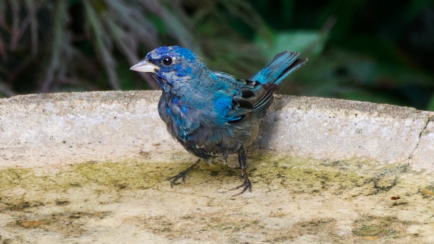 Indigo Bunting in molting process