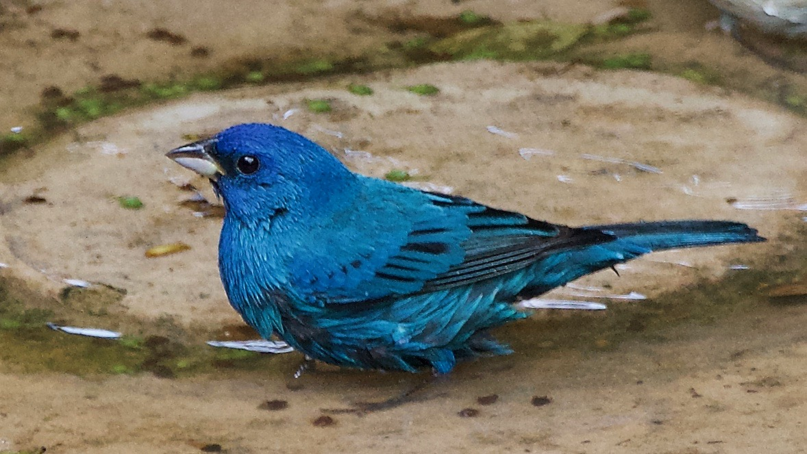 Indigo Bunting after molting process. (Breeding plumage)