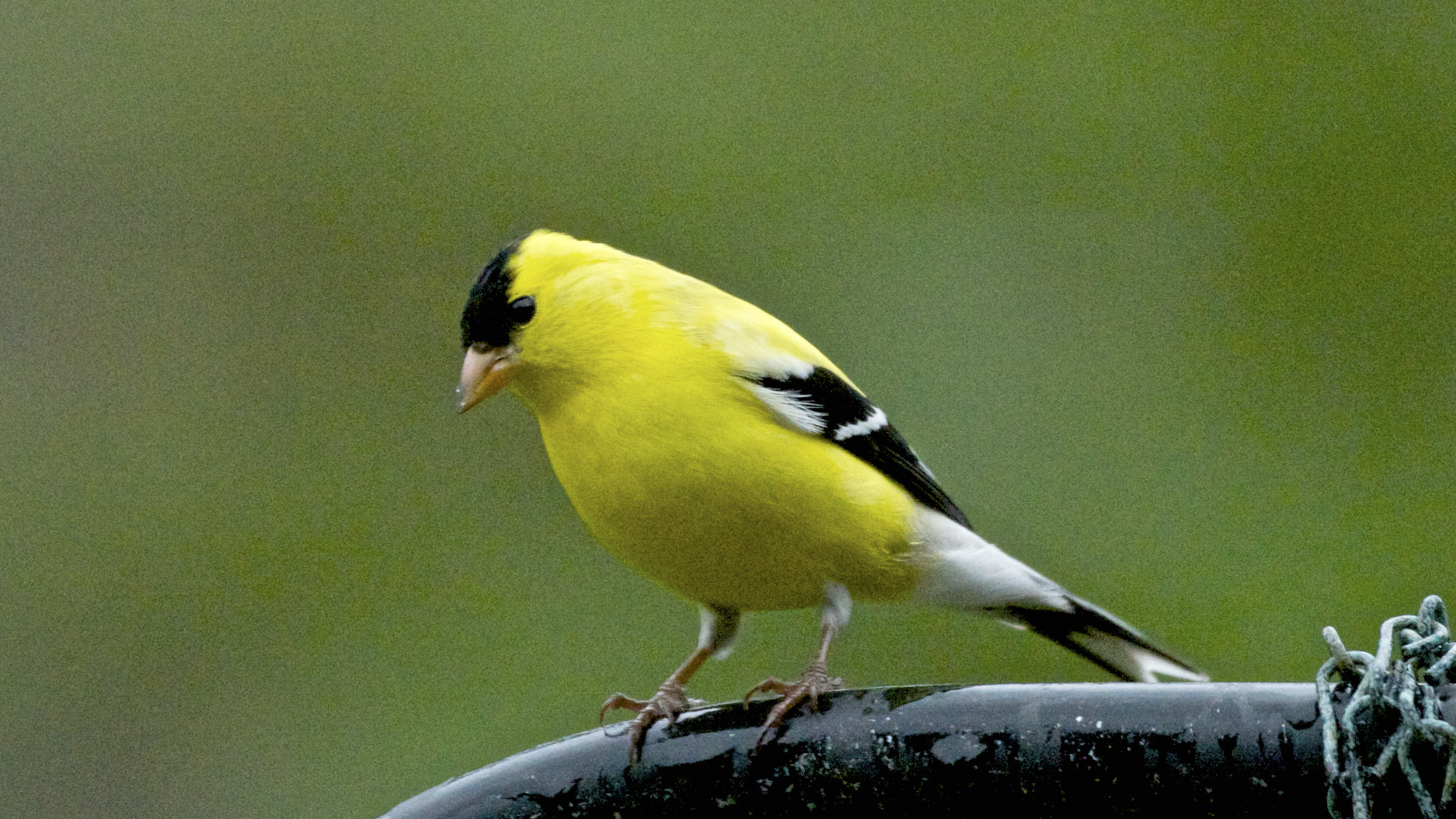 American Goldfinch after molting process. (Breeding plumage)