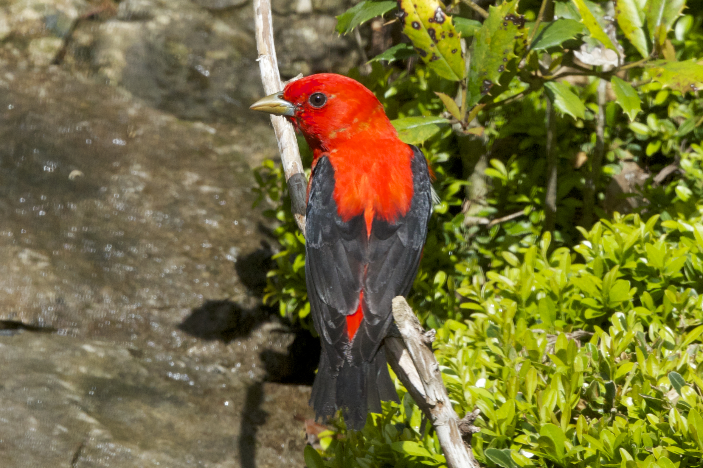Scarlet Tanager-male before molting process. (Breeding Plumage)