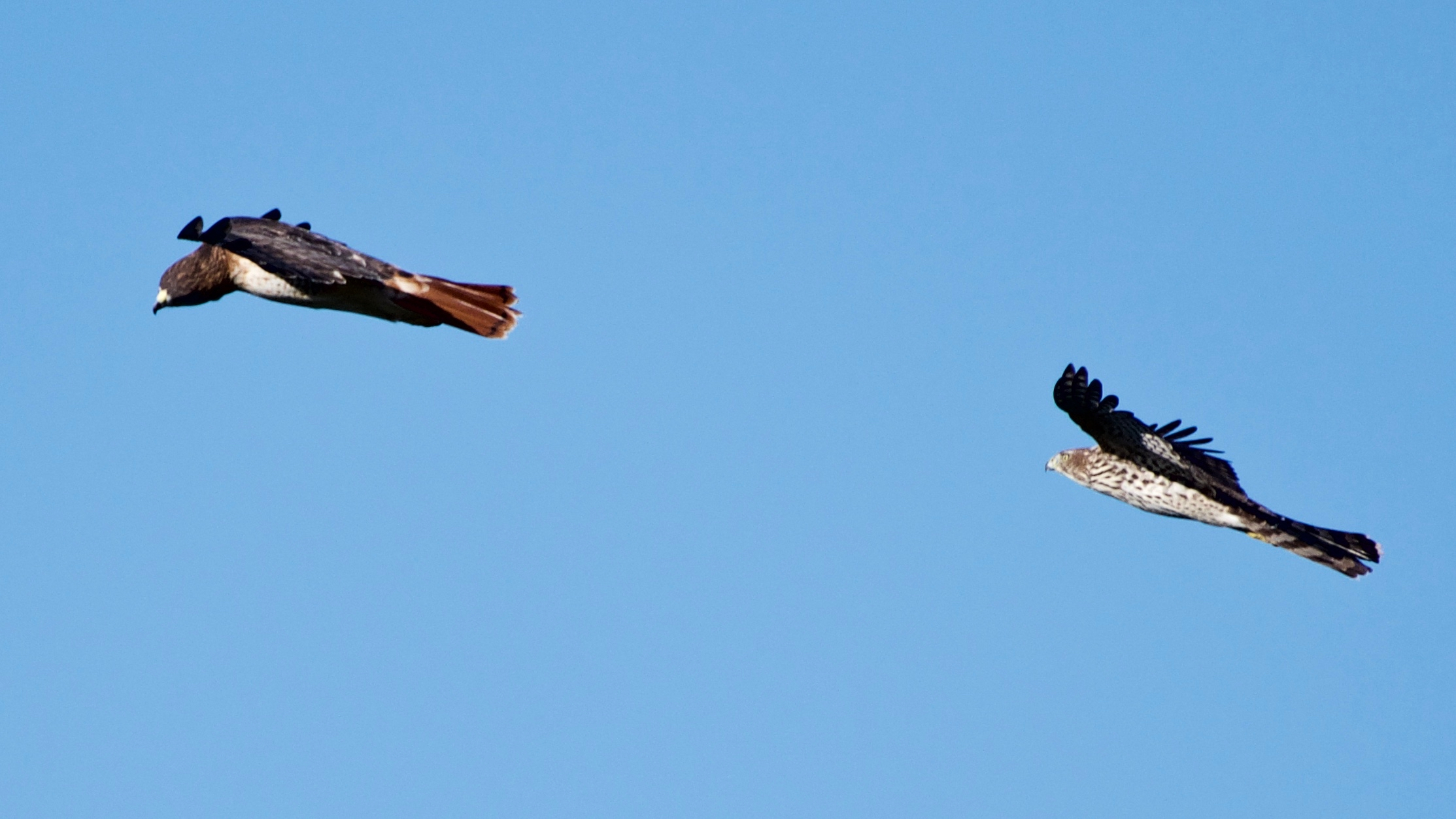 Red-tailed Hawk and Cooper's Hawk