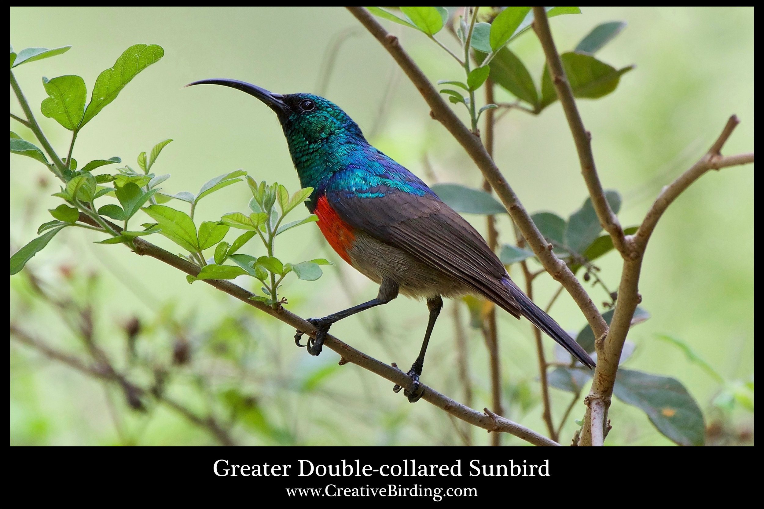 Greater Double-collared Sunbird cb.jpg