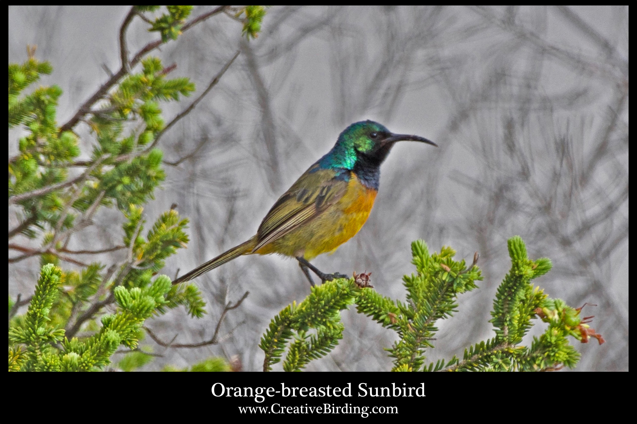 Orange-breasted Sunbird cb.jpg