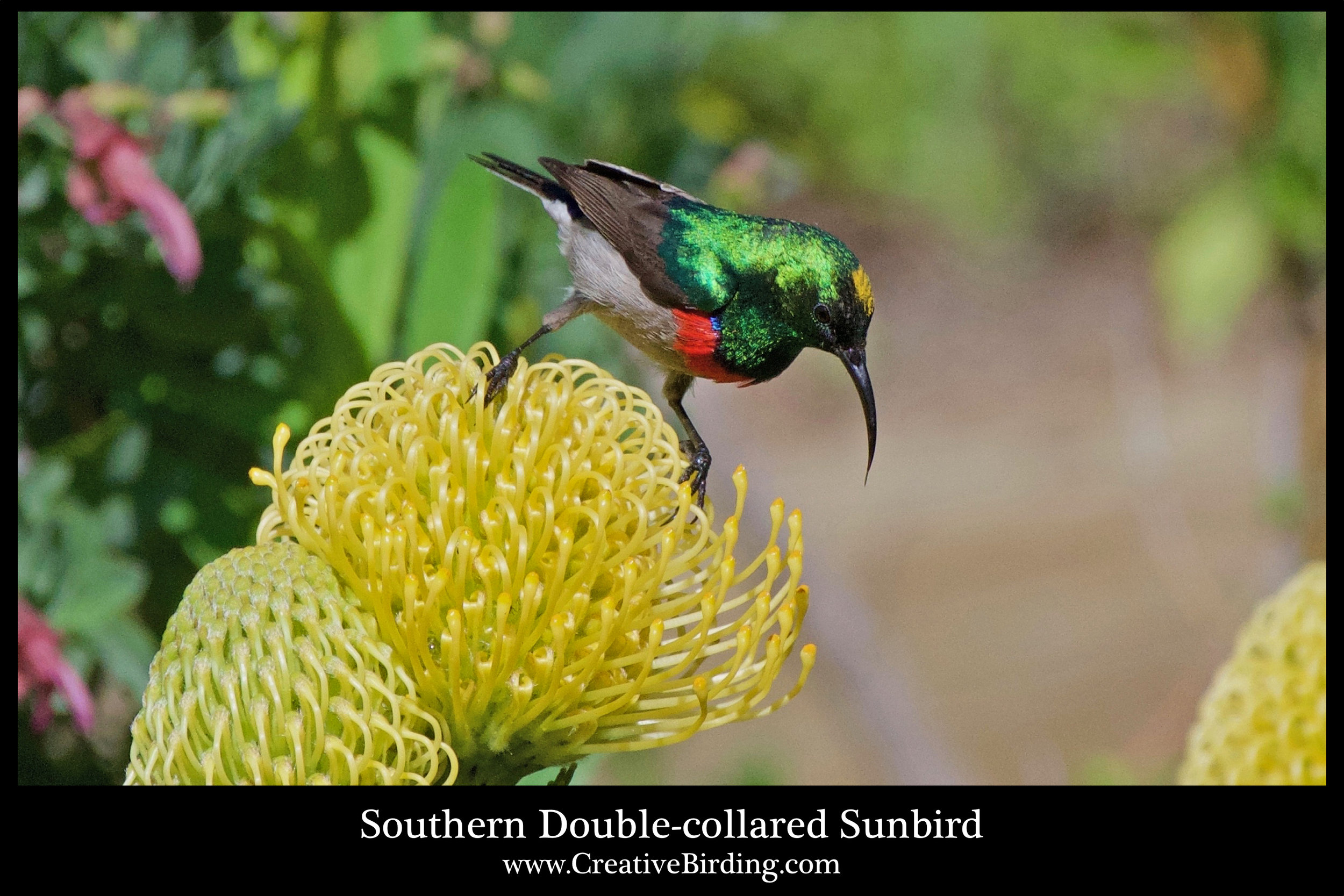 Southern Double-collared Sunbird cb1.jpg