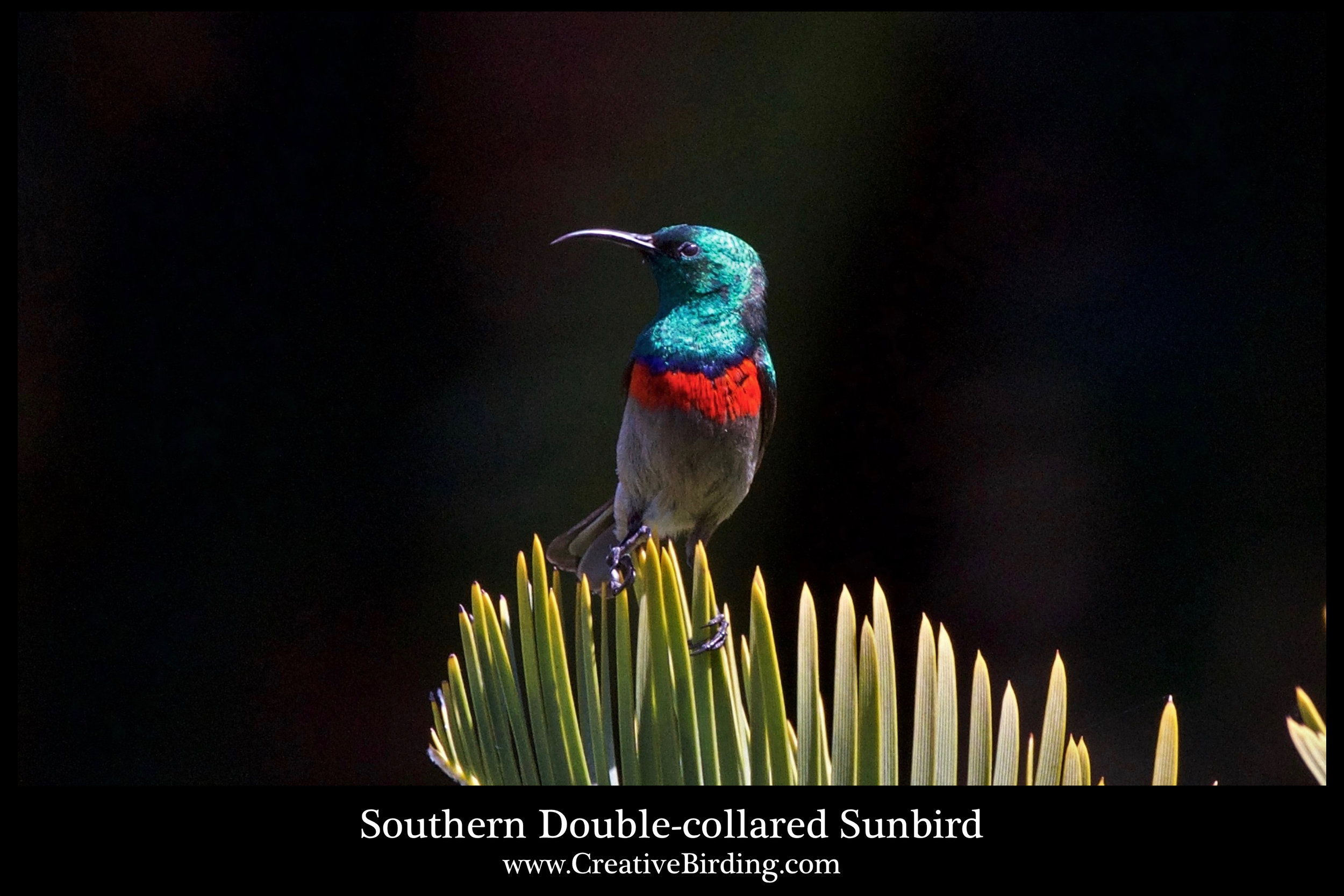 Southern Double-collared Sunbird cb2.jpg