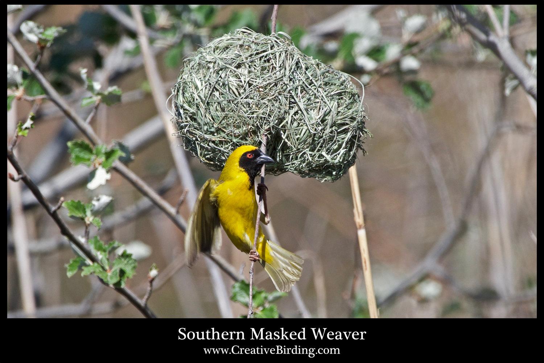 Southern+Masked+Weaver.jpg