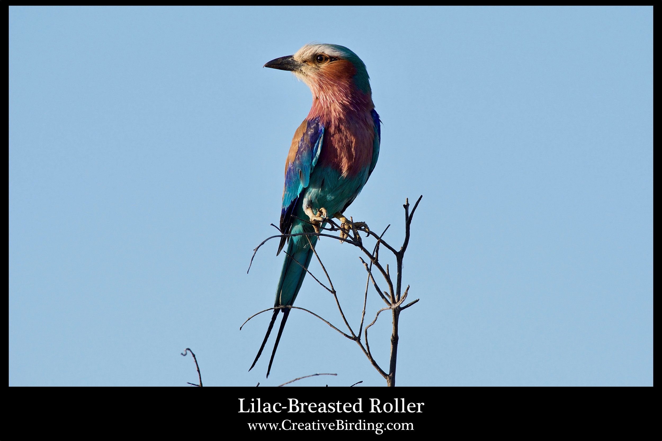 Lilac-Breasted Roller.jpg