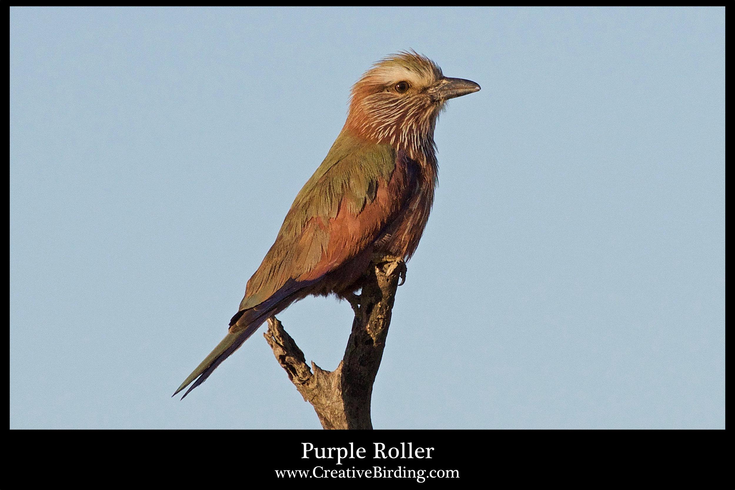 Purple Roller.jpg