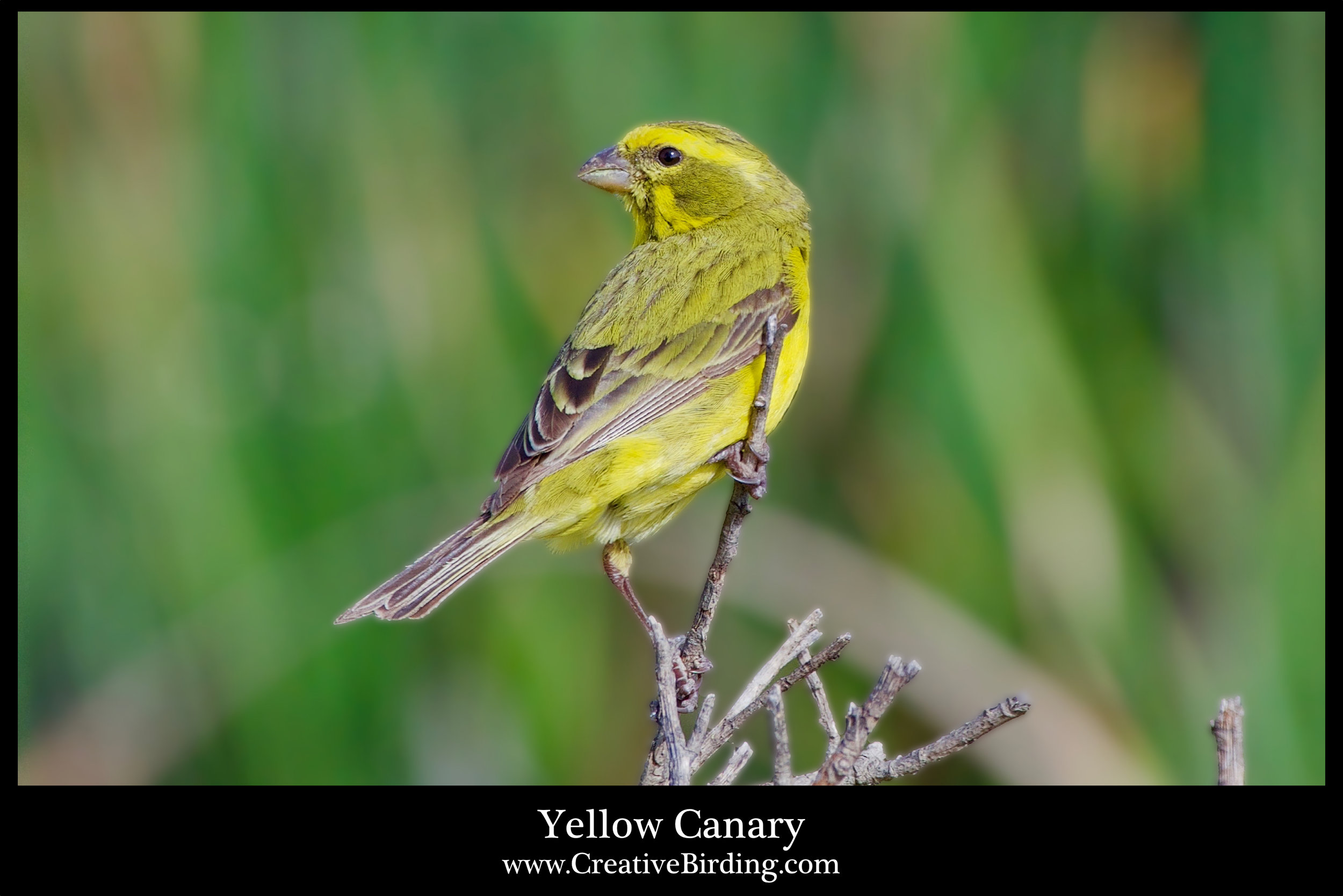 Yellow Canary.jpg