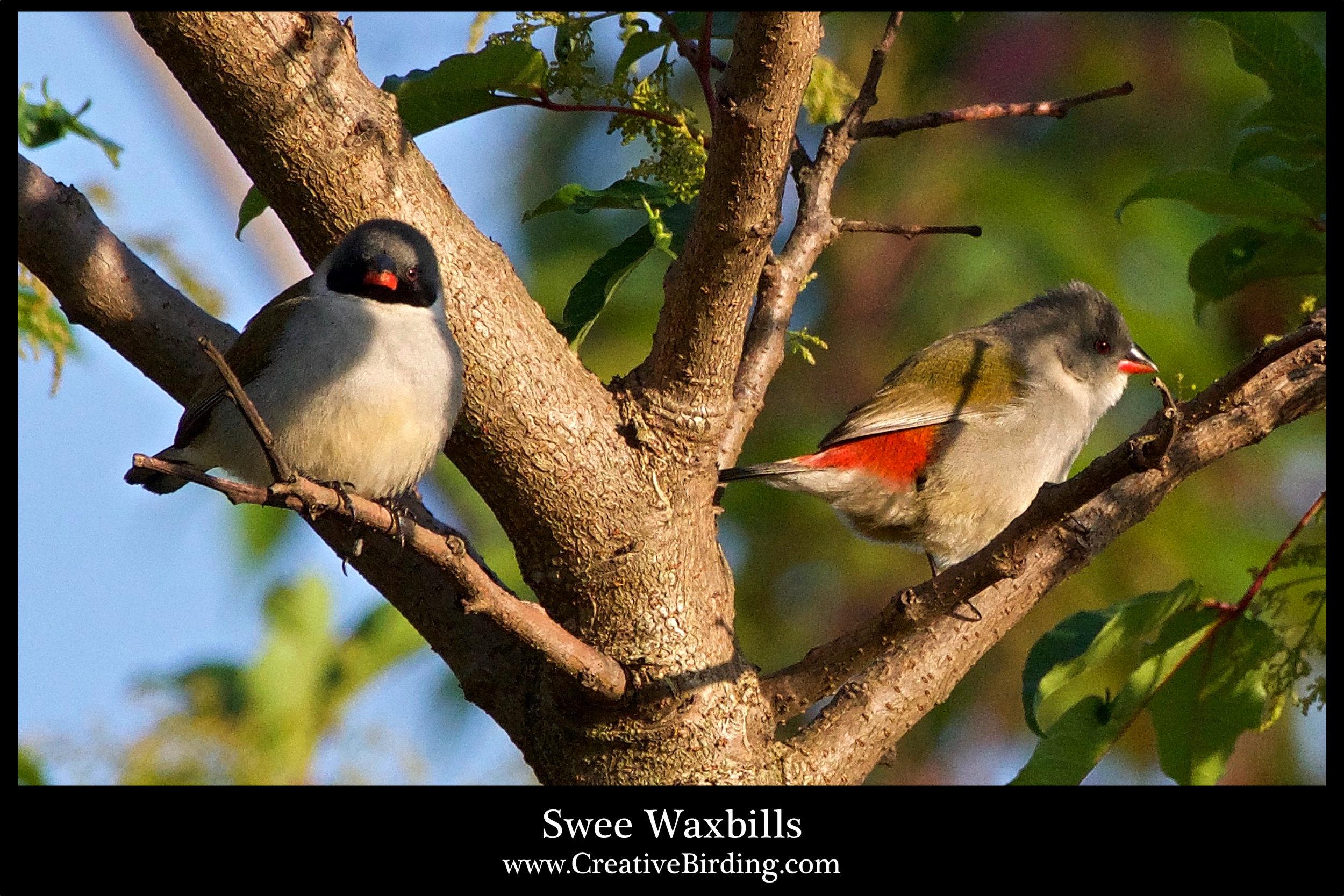 Swee Waxbills.jpg