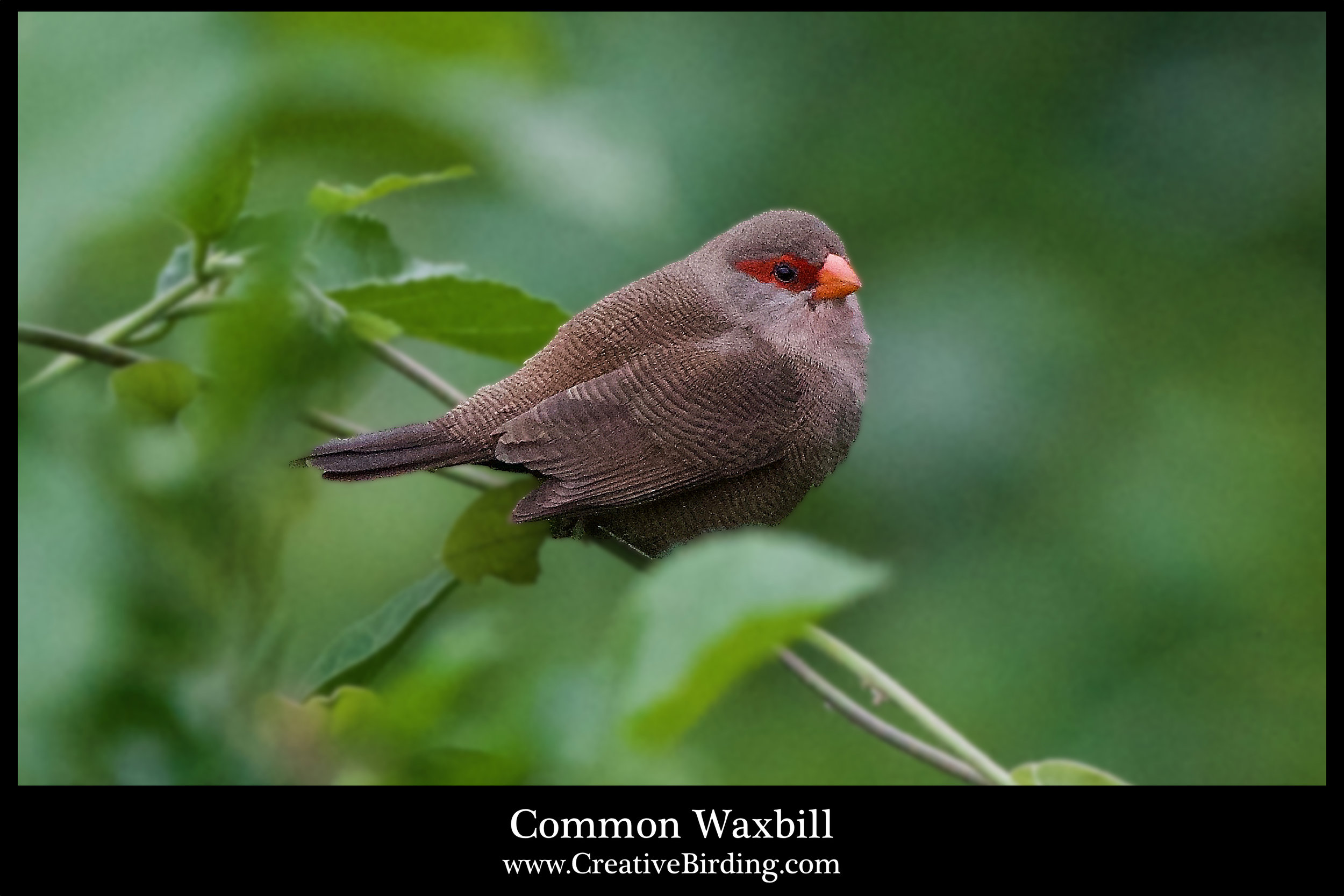 Common Waxbill.jpg