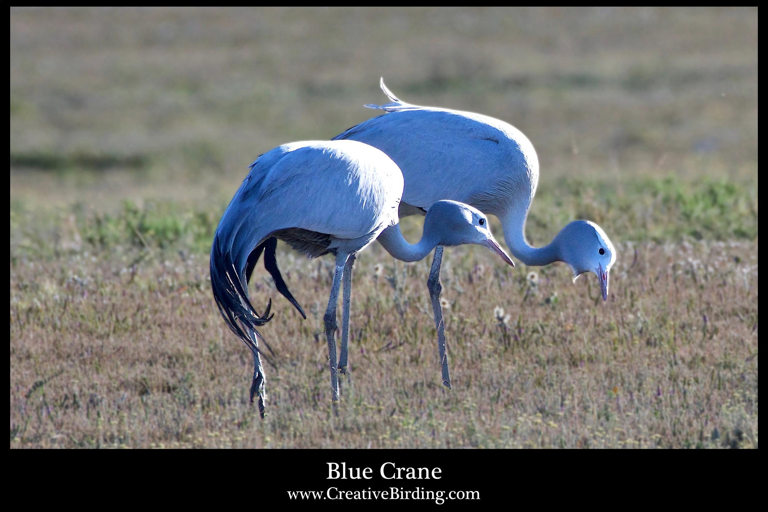 Blue Crane1.jpg