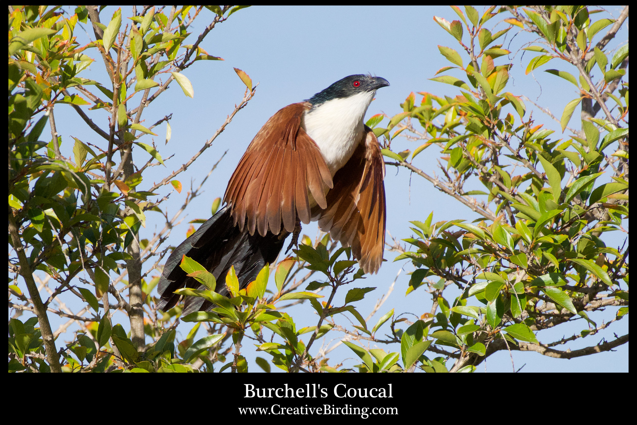 Burchell's Coucal.jpg