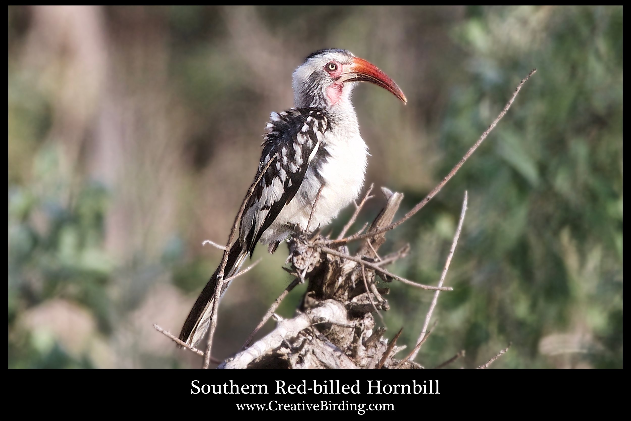 Southern Red-billed Hornbill4 web.jpg