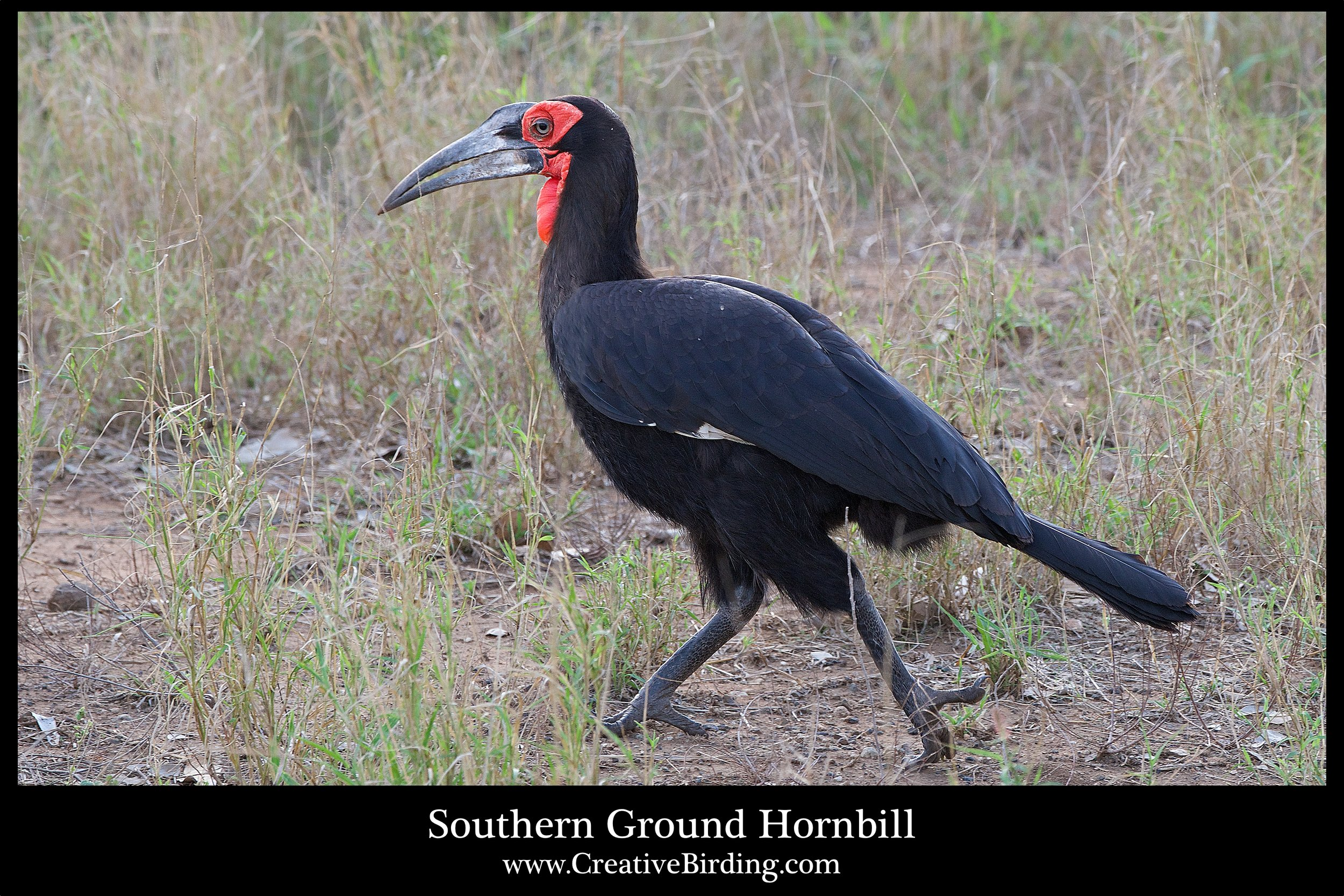 Southern Ground-hornbill web.jpg