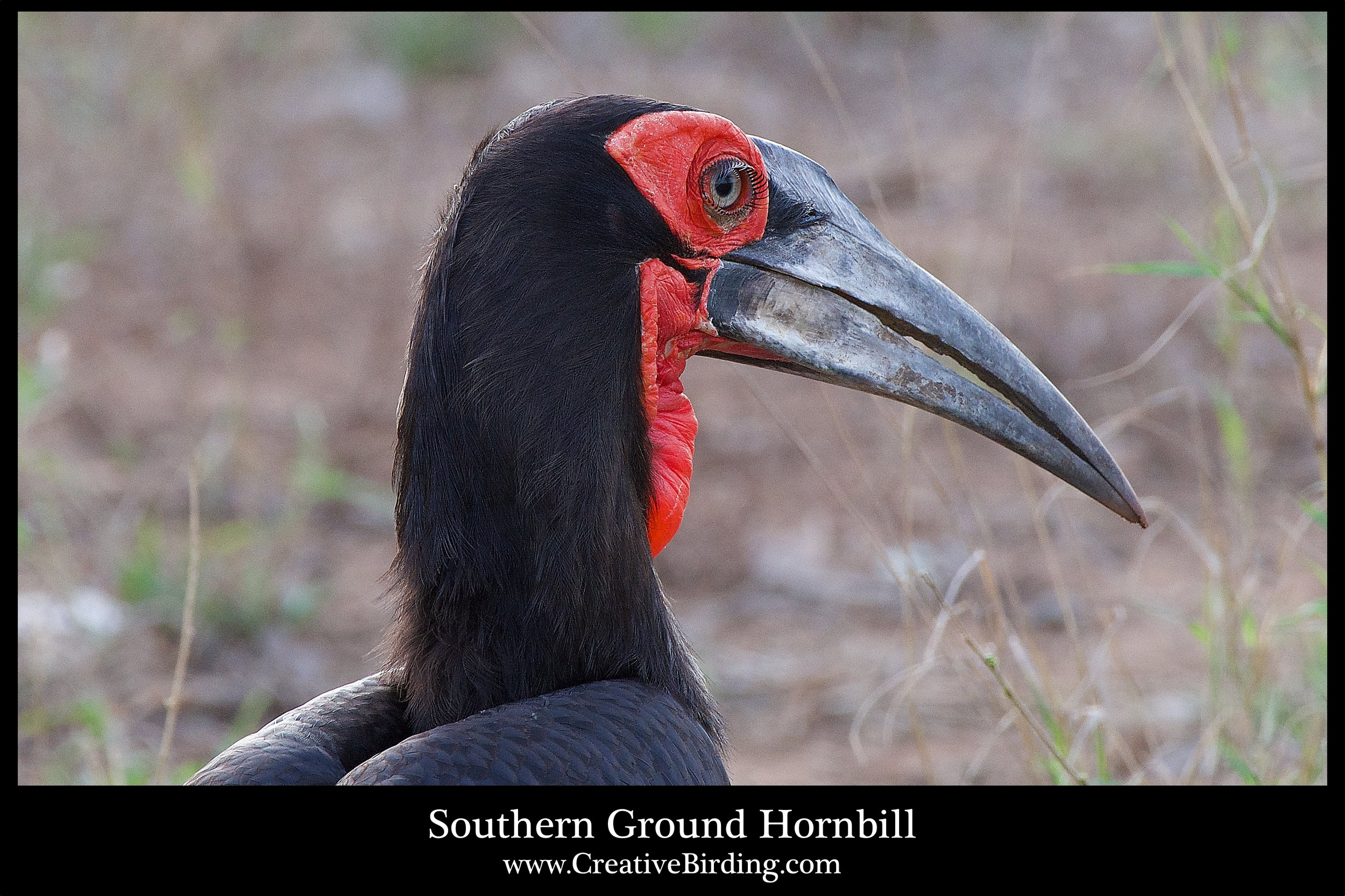 Southern Ground-hornbill1 web.jpg