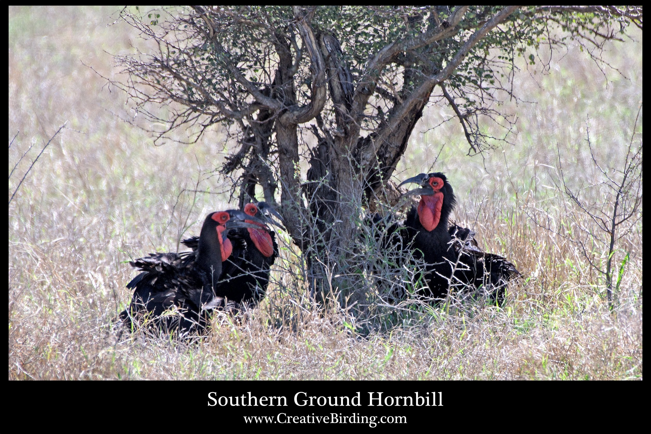 Southern Ground Hornbill3 web.jpg