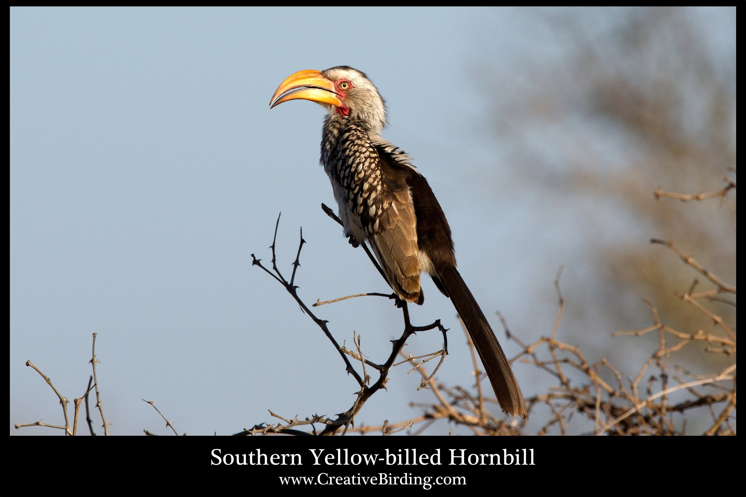 Southern Yellow-billed Hornbill web.jpg
