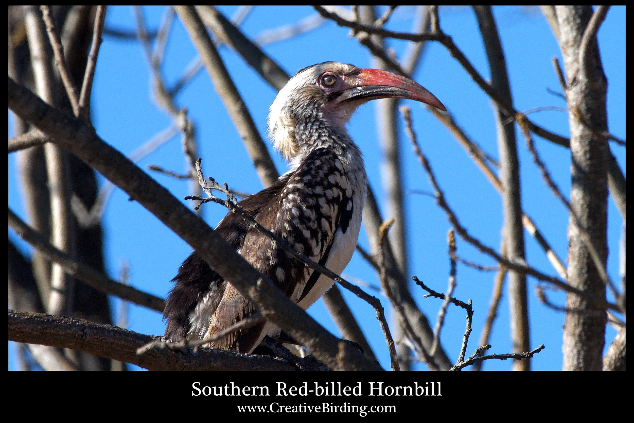 Southern Red-billed Hornbill web.jpg