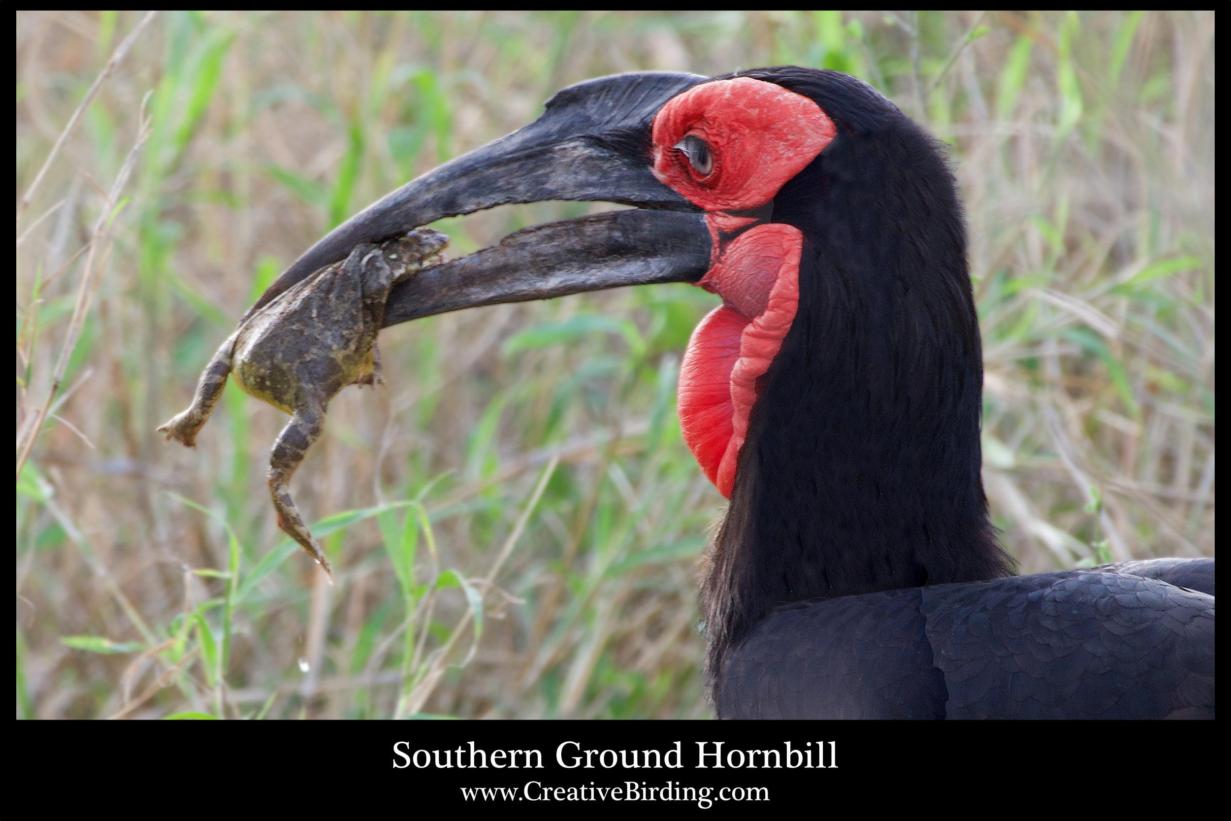 Southern Ground-hornbilll2.jpg